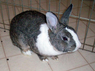 Male Rabbit