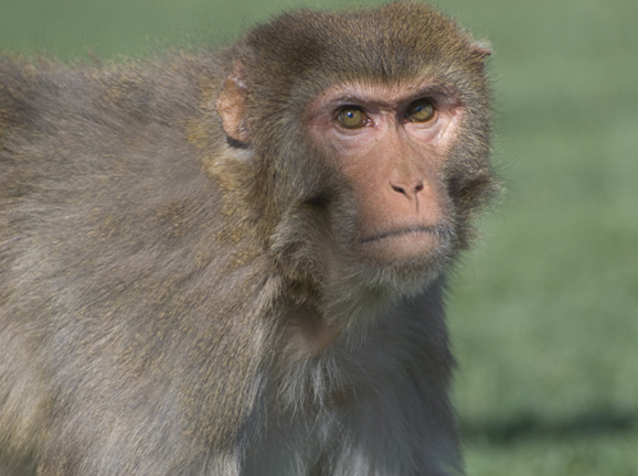 Male Rhesus Monkey