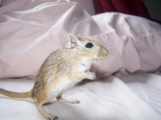Male Gerbil